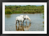 Framed Two Camargue White Horses in a Lagoon, Camargue, Saintes-Maries-De-La-Mer, Provence-Alpes-Cote d'Azur, France (horizontal)