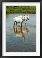 Framed Two Camargue White Horses in a Lagoon, Camargue, Saintes-Maries-De-La-Mer, Provence-Alpes-Cote d'Azur, France (vertical)