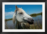 Framed White Camargue Horse with Head over Fence, Camargue, Saintes-Maries-De-La-Mer, Provence-Alpes-Cote d'Azur, France