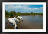 Framed Three white Camargue horses in a lagoon, Camargue, Saintes-Maries-De-La-Mer, Provence-Alpes-Cote d'Azur, France