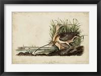 Framed Long-billed Curlew