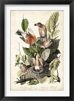 Framed Audubon's American Robin