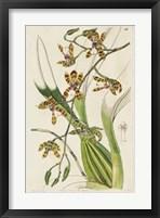 Framed Spring Orchid II