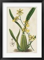 Framed Spring Orchid IV