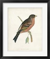 Framed Mountain Finch