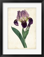 Framed Curtis Iris IV