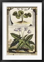 Framed Cyclamen Flore I