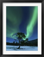 Framed Aurora Borealis Over a Tree Troms, Norway