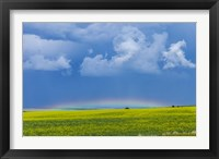 Framed low altitude rainbow visible over the yellow canola field, Gleichen, Alberta, Canada