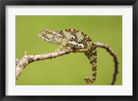 Framed Chameleon, Serengeti National Park, Ndutu, Tanzania