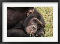 Framed Common Chimpanzee, Sweetwater Conservancy, Kenya