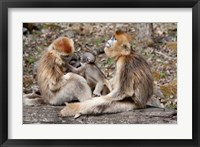 Framed Golden Monkeys with babies, Qinling Mountains, China
