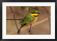 Framed Bee Eater, Botswana