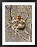 Framed Female Golden Monkey on a tree, Qinling Mountains, China