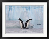 Framed Two Adelie Penguins, Antartica