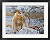 Framed Female Golden Monkey, Qinling Mountains, China