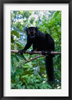 Framed Black Lemur male and female, Lokobe Nature Special Reserve, Northern Madagascar