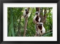 Framed Coquerel's sifakas, (Propithecus coquereli), Madagascar