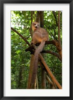 Framed Crowned Lemur (Eulemur coronatus), Ankarana National Park, Northern Madagascar