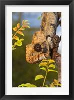 Framed Giant Madagascar or Oustalet's Chameleon, Montagne des Francais Reserve Antsiranana, Northern Madagascar