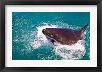 Framed Great White Shark, Capetown, False Bay, South Africa