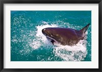 Framed Great White Shark, Capetown, False Bay, South Africa