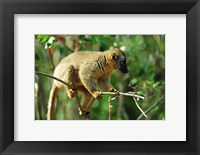 Framed Common Brown Lemur on branch, Ile Aux Lemuriens, Andasibe, Madagascar.