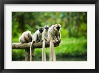 Framed Group of Verreaux's sifaka, Ile Aux Lemuriens, Andasibe, Madagascar.