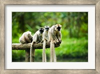 Framed Group of Verreaux's sifaka, Ile Aux Lemuriens, Andasibe, Madagascar.