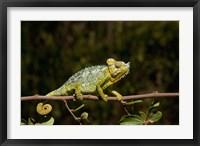 Framed Chameleon, Nakuru, Kenya