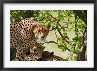 Framed Cheetahs, Botswana