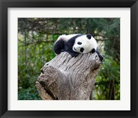 Framed Giant Panda, Wolong Reserve, China