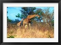 Framed Adult and baby Cape Giraffe, (Giraffa camelopardalis giraffa), Kruger National park, South Africa