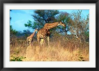 Framed Adult and baby Cape Giraffe, (Giraffa camelopardalis giraffa), Kruger National park, South Africa