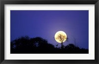 Framed Full Moon Rises Above Acacia Tree, Amboseli National Park, Kenya