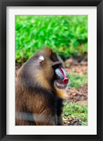 Framed Africa, Cameroon, Limbe. Mandrill at Limbe Wildlife Center.