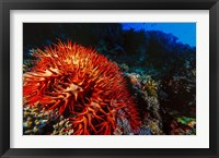 Framed Crown-of-Thorns Starfish at Daedalus Reef, Red Sea, Egypt