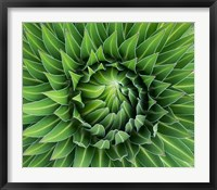 Framed Close up of Giant Lobelia rosette of leaves, Kenya