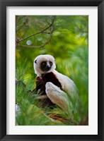 Framed Coquerel's Sifaka, Perinet Reserve, Toamasina, Madagascar