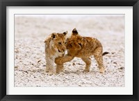 Framed Africa, Two lion cubs play fighting on the Etosha Pan
