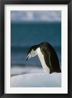 Framed Chinstrap Penguin, Antarctica.