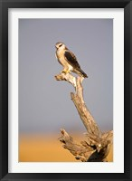 Framed Africa, Naminia, Etosha NP, Black Winged Kite bird