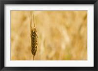 Framed Closeup of Barley, East Himalayas, Tibet, China