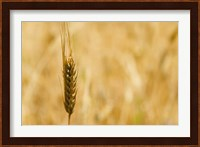 Framed Closeup of Barley, East Himalayas, Tibet, China