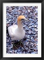Framed Cape Gannet on the Coast, South Africa