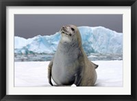 Framed Crabeater seal, saltwater pan of sea ice, Antarctica