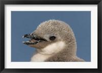 Framed Antarctica, Half Moon Island, Chinstrap penguin chick
