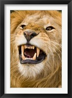 Framed Africa, Kenya, Masai Mara, male lion bearing teeth.