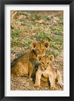 Framed Africa, Tanzania, Katavi, lion cubs playing
