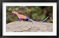Framed Africa. Tanzania. Agama Lizard at Serengeti NP.